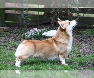 Father of the Pembroke Welsh Corgi puppies born on 10/02/2019