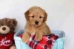 Goldendoodle-Poodle (Miniature) Mix Puppy For Sale in BALTIC, OH, USA