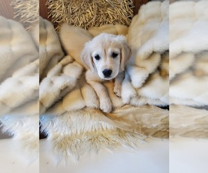 English Cream Golden Retriever Puppy for sale in NEENAH, WI, USA