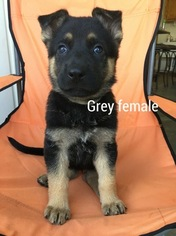 German Shepherd Dog Puppy For Sale in NORTH VERNON, IN