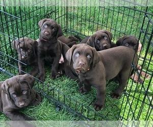Labrador Retriever Puppy for Sale in MAGNOLIA, Delaware USA