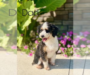 Father of the Bernedoodle puppies born on 02/26/2021