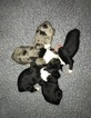 Miniature Australian Shepherd Puppy For Sale in NEW HAMPTON, New York,