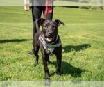 Small #12 American Staffordshire Terrier-Labrador Retriever Mix