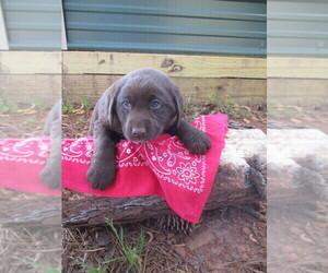 Labradoodle-Labrador Retriever Mix Puppy for sale in RUTHERFORDTON, NC, USA