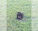 Puppy 3 Bernese Hound-Poodle (Miniature) Mix