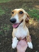 Dachshund Puppy For Sale in SAN ANTONIO, TX,