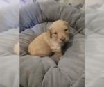 Small #3 Goldendoodle (Miniature)