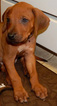 Rhodesian Ridgeback Puppy For Sale in AUGUSTA, GA