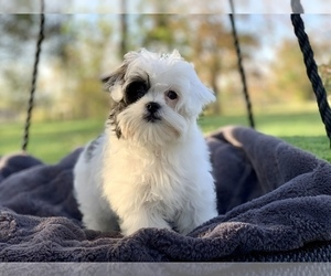 Cavapoo Puppy for sale in HOUSTON, TX, USA