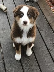 Australian Shepherd Puppy For Sale in PINE BUSH, NY, USA