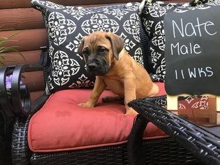 Bullmastiff Puppy For Sale in MORGANTOWN, PA, USA