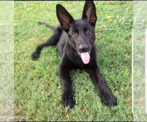 German Shepherd Dog Puppy for Sale in GAMBRILLS, Maryland USA
