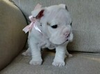 Bulldog Puppy For Sale in MESQUITE, Texas,