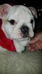 Bulldog Puppy For Sale in BALL, LA, USA