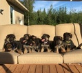 German Shepherd Dog Puppy For Sale in WASILLA, AK,