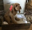 Cocker Spaniel Puppy For Sale in CADDO, OK, USA