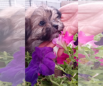 Small #13 Morkie
