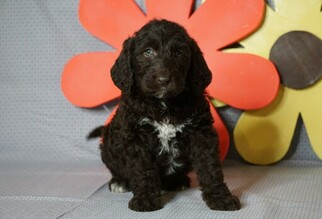 Labradoodle Puppy for sale in FREDERICKSBG, OH, USA