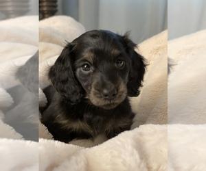Dachshund Puppy for Sale in RIALTO, California USA