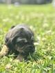 Puppy 10 Bloodhound
