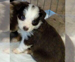 Australian Shepherd Puppy for sale in DEMING, NM, USA