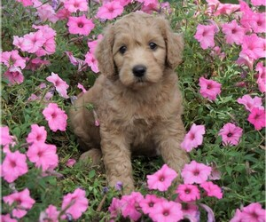 Goldendoodle Puppy for sale in FREDERICKSBG, OH, USA