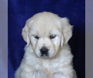 English Cream Golden Retriever Dog for Adoption in MYERSTOWN, Pennsylvania USA