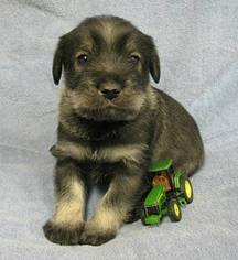 Schnauzer (Standard) Puppy For Sale in LOLO, MT