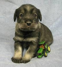Schnauzer (Standard) Puppy for sale in LOLO, MT, USA