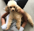 Poodle (Standard) Puppy For Sale in WASHINGTON, DC,