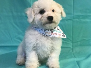 Bichon Frise Puppy For Sale in RUTHER GLEN, VA