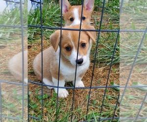 Pembroke Welsh Corgi Dog for Adoption in RICHLAND, Missouri USA