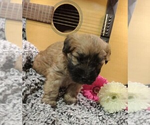 Soft Coated Wheaten Terrier Puppy for sale in FREDERICKSBG, OH, USA