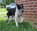 Small Photo #1 Border Collie Puppy For Sale in BROWNSVILLE, TN, USA