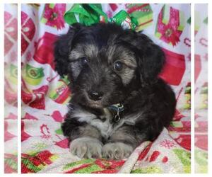 Poodle (Toy)-Yorkshire Terrier Mix Puppy for sale in TAYLOR, TX, USA