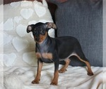 Small #2 Miniature Pinscher