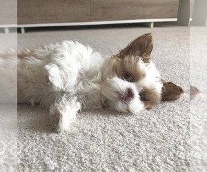 Shih Tzu Puppy for sale in BERKSHIRE HEIGHTS, PA, USA