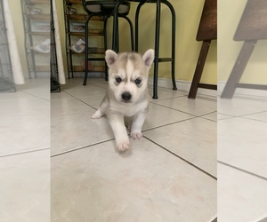 Siberian Husky Puppy for sale in FORT WORTH, TX, USA