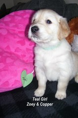 Golden Retriever Puppy For Sale in BAYARD, NE