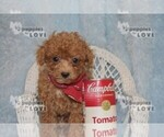 Small #15 Poodle (Toy)