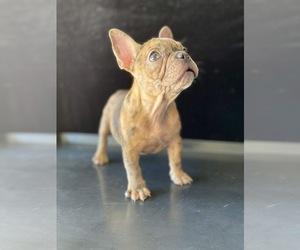 Flat Coated Retriever Puppy for sale in CHULA VISTA, CA, USA