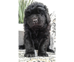 Puppy 5 Newfoundland