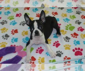 Boston Terrier Dog for Adoption in ORO VALLEY, Arizona USA
