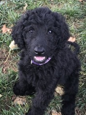 Goldendoodle Puppies and Dogs for Sale in California, USA