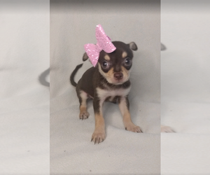 Chihuahua Dog for Adoption in INDIANAPOLIS, Indiana USA