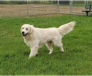 Father of the Golden Retriever puppies born on 06/06/2021