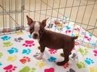 Boston Terrier Puppy For Sale in GILBERT, AZ, USA