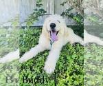 Small #3 Poodle (Standard)-Saint Berdoodle Mix