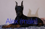 Direct Import Doberman available